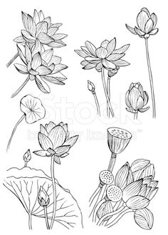 Doodle set of water lilies. Vector Illustration royalty-free doodle set of water lilies vector illustration stock vector art & more images of beauty Botanical Line Drawing, Floral Drawing, Botanical Art, Botanical Illustration, Art Lotus, Lotus Kunst, Art Floral, Lilies Drawing, Flower Sketches