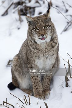Eurasian Lynx (Lynx lynx) sitting in snow, Germany