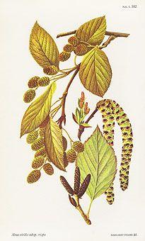 Alnus viridis subsp. crispa