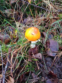 Oranje ridderzwam