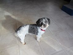 Jenny 3307 Age: Almost 8 years Sex/Altered: Female/ Spayed Weight: 14 lbs Breed: Shih tzu/ Poodle Mix Foster Home Location: BELLEVILLE, ON Adoption Fee: $400.00 Temperament: Sweet, cuddly, playful, can be timid until comfortable in situation Activity/Energy Level: Moderate Origin: Owner Surrender