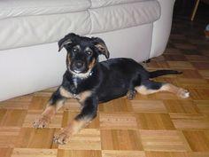 german dachshund | German Shepherd Dachshund Mix | Mix ...