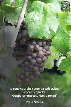 Grapes of #Pinot Grigio....