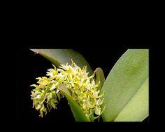 Notylia orbicularis