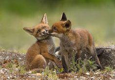 zoenende jonge vossen.jpg