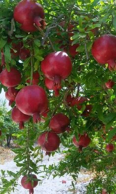 Pomegranate tree love them ………………. Fruit Plants, Fruit Garden, Fruit Trees, Herbs Garden, Fruit And Veg, Fruits And Veggies, Fresh Fruit, Berry, Beautiful Fruits