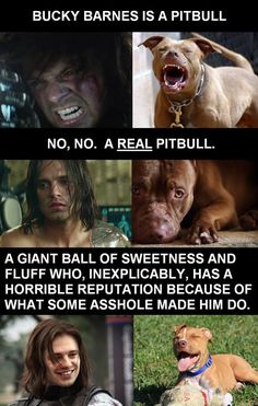 Bucky Barnes: Actual Pit Bull. <3