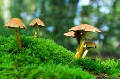 """""""Magic mushrooms"""" containing the hallucinogen psilocybin can induce long-term changes in personality, according to new research published . Psilocybin Mushroom, Mushroom Spores, Sacred Plant, Forest Background, Mind Blowing Facts, Photo Grouping, Go Green, Science And Nature, Mind Blown"""