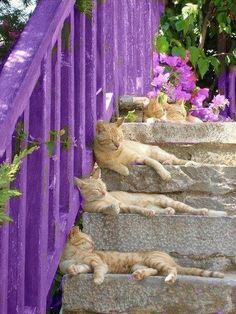 Orange Tabbies & Purple Fence