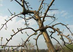 pfirsichbaum richtig schneiden pfirsichbaum richtiger. Black Bedroom Furniture Sets. Home Design Ideas
