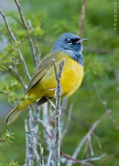 Toutes les tailles | macgillivray's warbler (oporornis tolmiei) | Flickr: partage de photos!