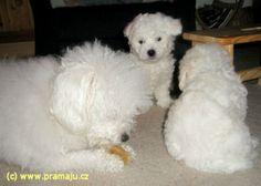 Cindy 1/2012a - Bichon Bolognese / Boloňský psík Bichon Bolognese, Dog Lady, Little Dogs, Animals, Little Puppies, Animales, Animaux, Animal, Animais