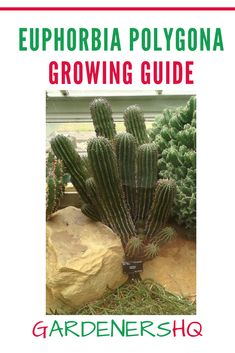 How to Grow Succulent Perennial Euphorbia Plant Genus members such as Spurge.