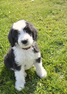 Jenner, Sheepadoodle puppy at Sherrier Shaggy Bottoms
