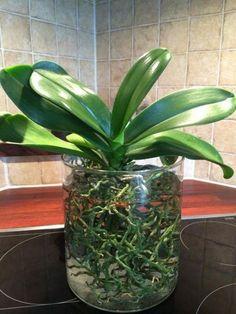 Лучший витаминный коктейль для орхидей – прекрасный метод реанимации цветов Home Flowers, Orchid Care, Small Farm, Green Leaves, Vegetable Garden, Garden Landscaping, Indoor Plants, Landscape Design, Flora