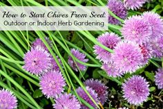 Chives can be continually harvested! Learn how to grow them indoors or outdoors.