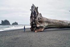 Giant driftwoodon the beach at La Push, Washington (2010)