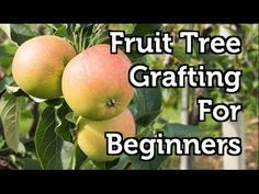 """A multi-fruit tree, also known as a """"fruit salad tree"""", is an almost magical plant that's created by grafting different species onto a single tree trunk. Grafting Fruit Trees, Grafting Plants, Plant Propagation, Avocado Plant, Avocado Tree, Multi Fruit Tree, Fruit Salad Tree, Vine Fence, Aquaponics Diy"""