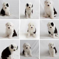 old english sheepdog puppies, snowdowne, oes puppies, oes breeder, portland dog photographer