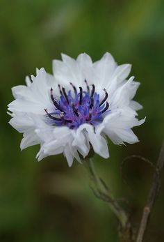 White Cornflower with blue centre