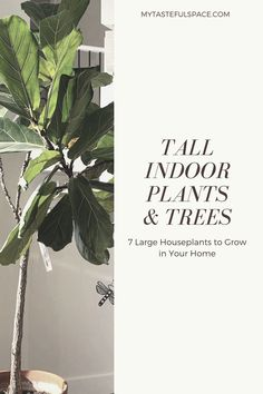 7 Large Houseplants To Grown in Your Home. Tall Indoor Plants, Indoor Trees, Large Plants, House Plants Decor, Plant Decor, Birds Of Paradise Plant, Strawberry Plants, Small Gardens, Tropical Plants