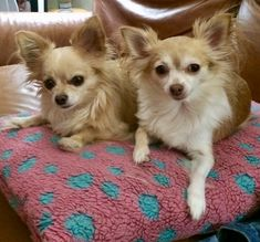 Lucky and Charm❤️. Chihuahuas together forever