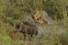 Eyes riveted on her prey, a lioness catapults from an ambush. In spite of relatively close distance (less than 5 meters) the warthog managed to bolt (no pun intended) to safety.