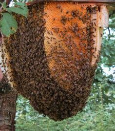 Wasp Removal, Bee Removal, Hives And Honey, Honey Bees, Bee Problem, Types Of Bees, Top Bar Hive, Household Pests, Bee Swarm