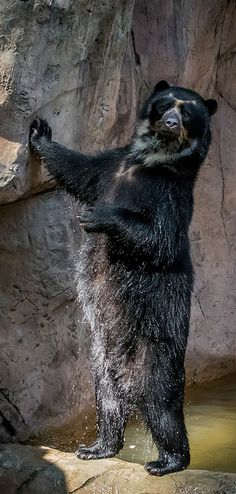 Turbo the Andean bear strikes a pose. Fact: Andean bears have only 13 pairs of ribs, one less than other bears. Photo by Craig Chaddock