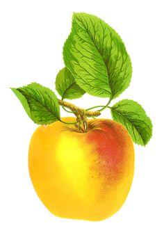 Antique Images: Free Digital Fruit Images Vintage Clip Art Apple Grime's Golden