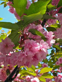 Lush pink blossoms in spring.