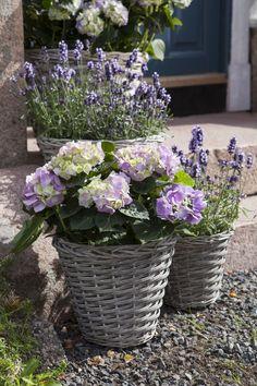 Pynt på trappen med hortensia og lavendel Balcony Garden, Garden Planters, Small Gardens, Outdoor Gardens, Rattan Planters, Different Flowers, Garden Inspiration, Container Gardening, Flower Pots