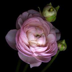 Ranunculus by Magda indigo