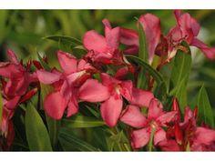 Laurier Rose Scarlet Beauty, 30/40 cm P9 - Nerium Oleander Scarlet Beauty : acheter en ligne sur Jardins Du Monde. Pépinière, jardinerie en ligne. Livraison partout en Europe