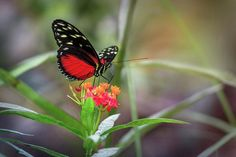 Red Heliconius Hecale Butterfly Art Print by Tim Abeln.  This macro photography image will be great decoration for any room in your home or office. All prints are professionally printed, packaged, and shipped within 3 - 4 business days. Choose from multiple sizes and hundreds of frame and mat options.
