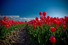 Tulpen. Door communitylid Wakanno - NG FotoCommunity © Upload zelf je mooiste foto's op www.nationalgeographic.nl/gebruiker/fotografie/foto/toevoegen