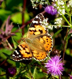 Beautiful Painted Lady butterfly