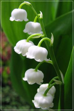 Lily of the valley. Most favorite flower fragrance of all! And they grow wild on the north side of my house, blooming in May.