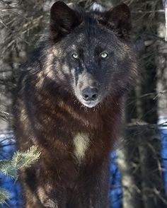 Wolf of Dusk Beautiful Creatures, Animals Beautiful, Native American Wolf, Wolf World, Wolf Husky, Wolf Stuff, Wolf Spirit Animal, Beautiful Wolves, Beautiful Eyes