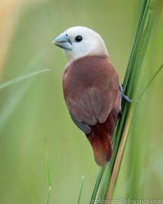 White-headed Munia - Birds of Peninsular Malaysia