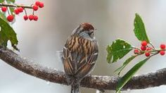 Image result for images and pictures of sparrows