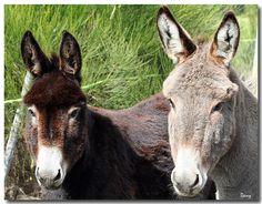 Un petit coucou à tous les amis de la part de deux ânes de la Loire.     Courtesy: Dany   Ducreux   shaina - Dany.
