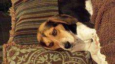 Found Dog - Beagle - Harcourt, ON, Canada on November 13, 2014 (16:00 PM)