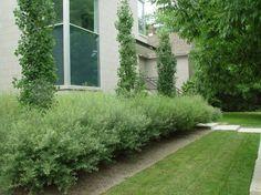 columnar-poplars.jpg