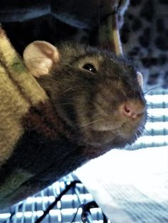 Hamsters, Rodents, Les Rats, Fancy Rat, Cute Rats, Parrots, Guinea Pigs, Make Me Smile, Bees