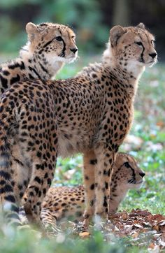 Cheetah family... webs of wounds