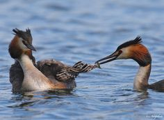 Great Crested Grebes  | Gallery > Necip Perver > Photos > Ducks and Geese > Great Crested ...