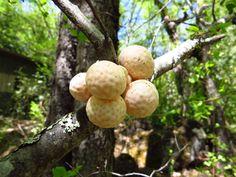 Hongo Cyttarya espinosae, endémico del sur de Chile.
