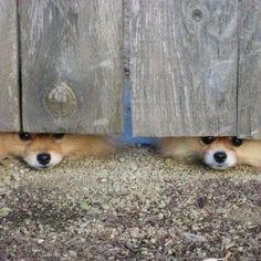 Peek a boo Pomeranians. Animals And Pets, Baby Animals, Funny Animals, Cute Animals, Cute Puppies, Cute Dogs, Dogs And Puppies, Doggies, Dog Pictures