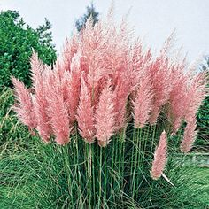 Pink Pampas Grass Light: Full sun to partial shade Height: 5-7' Bloom Time: Summer to fall Size: Potted Zones: 7 to 10